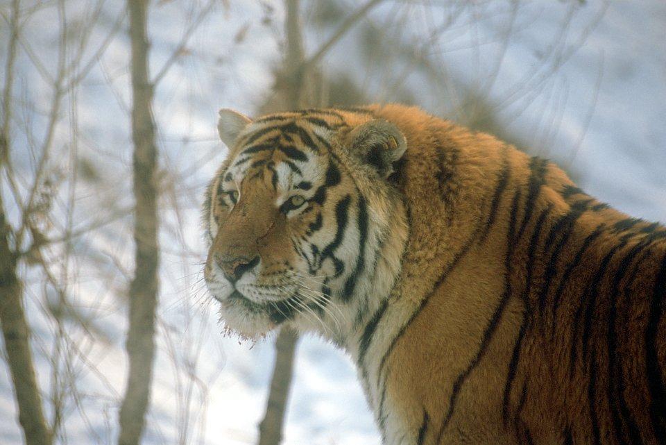 Parc des tigres de Sibérie